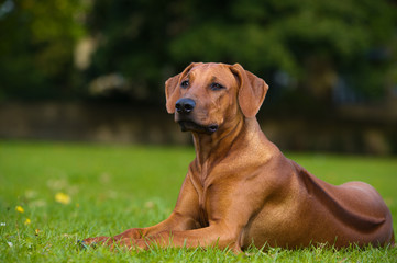 Beautiful dog rhodesian ridgeback puppy