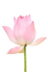 Garden Poster Lotus flower Pink lotus.1