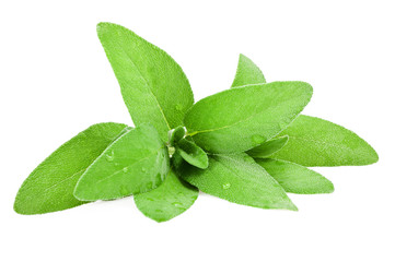 sage leaves wet