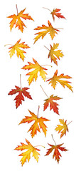 Falling autumn or fall leaves