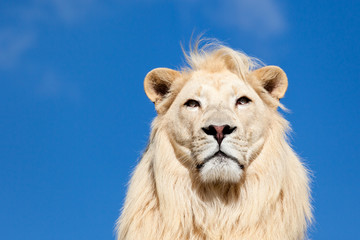Wall Mural - Head Portrait of Majestic White Lion on Blue Sky