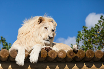 Wall Mural - White Lion on Wooden Platform in the Sunshine