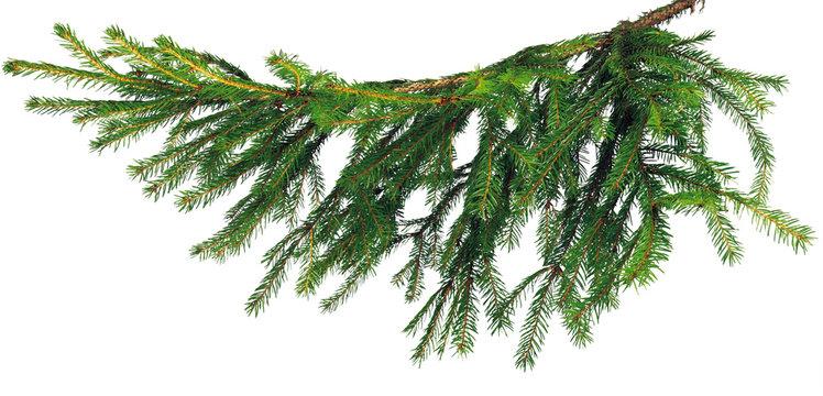 ель ветка branch spruce
