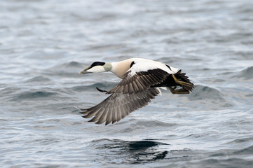 Common Eider flying over water.