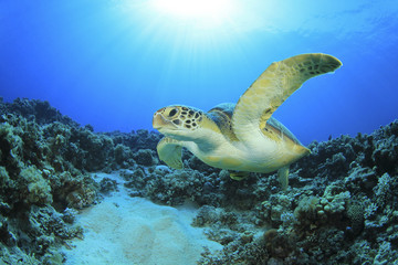 Green Turtle in Red Sea