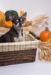 Autumn Harvest Dog
