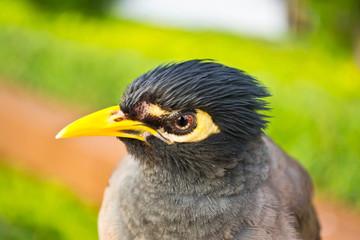 Starlings bird