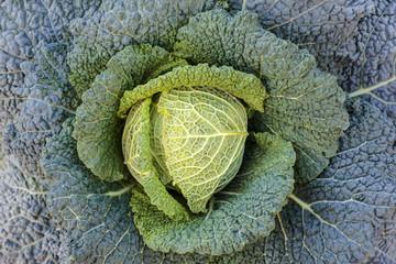 Savoy cabbage on farmland ready to harvest
