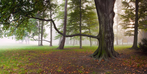 Mighty Beech Tree in foggy forest park