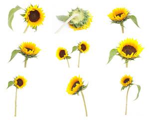 set of sunflower isolated