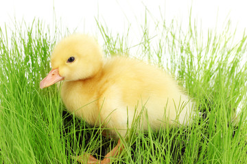 Duckling in green grass isolated on white