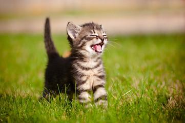 tabby kitten meowing portrait