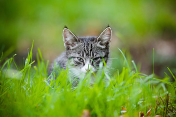 tabby kitten hiding in the grass