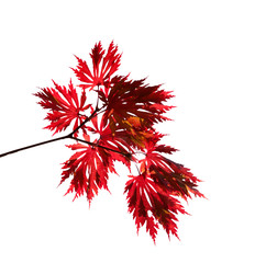 Red autumn maple branch on a white background