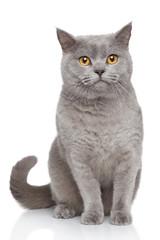 Wall Mural - Portrait of British Shorthair cat