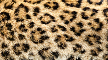 Wall Mural - Real Live North Chinese Leopard Skin Texture Background