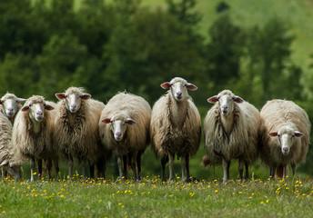 Sheep in Tuscany