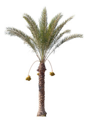 Date-palm tree isolated on white background