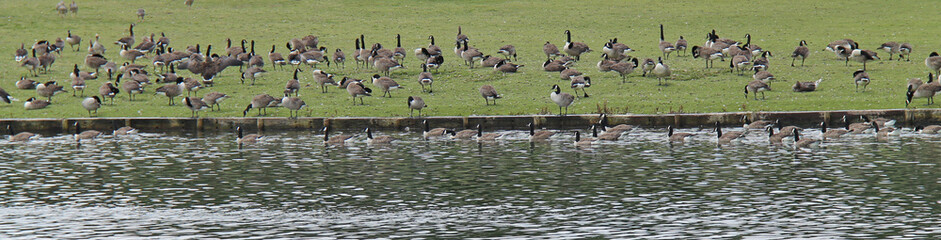 A Large Number of Geese Feeding at the Waters Edge.