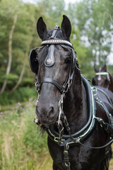 Portrait of a Dutch royal black horse