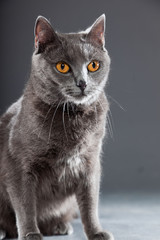 Grey Chartreux cat with yellow orange eyes isolated on grey.