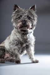 Grey cairn terrier isolated on grey background