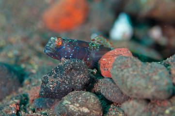 Foto op Aluminium Kameleon Metalic shrimp goby