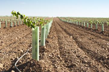 Newly planted vineyards