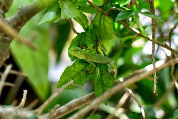 gecko lizard (master of disguise)