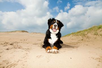Happy playful berner sennen dog outdoors in dune landscape.
