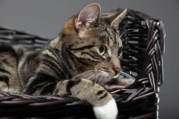 Studio portrait of grey striped cat with white chest isolated.