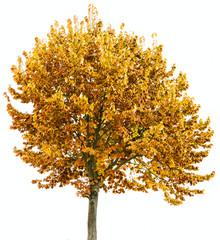 an autumal lime tree
