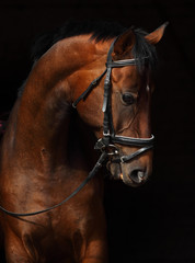 Fotobehang Paarden Bay Trakehner Horse with classic bridle
