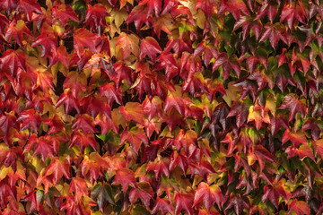 Bright red autumn background with common ivy