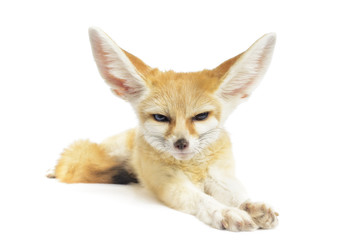 fennec fox on white