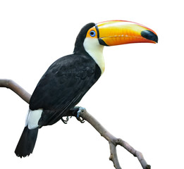 Poster Toekan isolated bird. Toucan sits on a branch isolated on white background