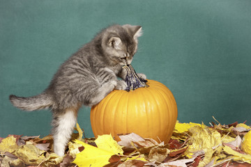 Kitten climbs on pumpkin.
