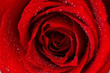 Beautiful red rose close up