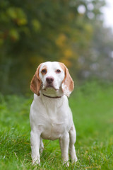 Beagle being walked off a lead in the field