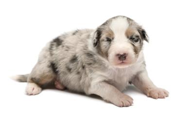 Australian Shepherd puppy, 16 days old