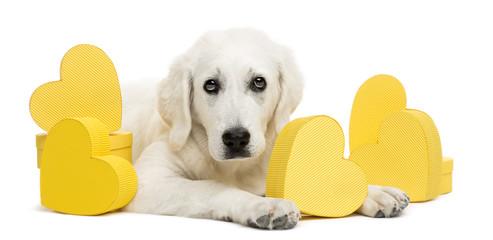 Polish Tatra Sheepdog lying between yellow hearts, portrait