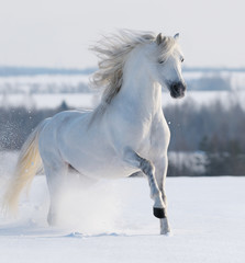 Fototapete - White stallion galloping