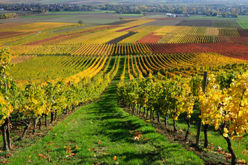 Wall Murals Vineyard Vineyards in autumn colours. The Rhine valley, Germany
