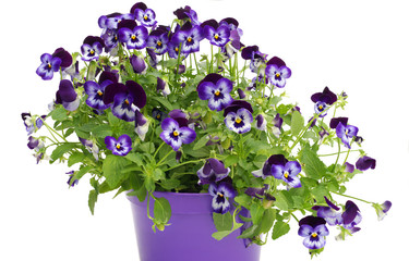 Foto op Aluminium Pansies Violet pansies in pot