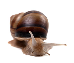 Snail. Front view.
