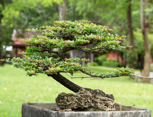 beautiful bonsai in the garden