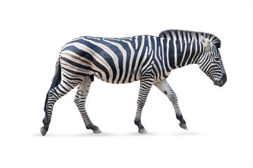 Zebra male - white background
