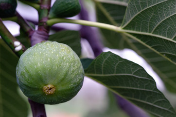 Green Fig on the Tree, Tuscany