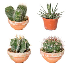 Different cactuses and agave in flowerpots