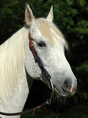 Beautiful spanish stallion, with western bridle